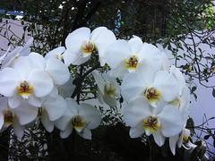 Ludwigsburg - Blhendes Barock- Weie Orchideen (roba66) Tags: park flowers flora blumen ludwigsburg blten orchideen badenwrttemberg blhendesbarock worldtrekker mimamorflowers vosplusbellesphotos
