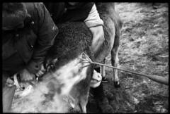 Rapa de Torroña #3 (jpereira_net) Tags: españa horse caballo caballos galicia galiza pontevedra ourense tradicional ganaderia curro tradiciones salvaje rapadasbestas