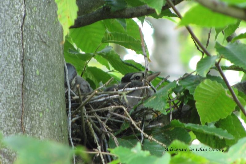 bluejay nestling photo