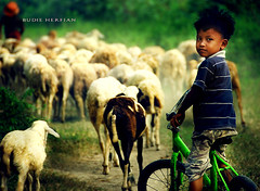 Shepherd Boy ( DocBudie) Tags: boy portrait nature animal children sheep shepherd backhome walkinghome domba flockofsheep northsumatra batangkuis deliserdang
