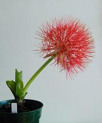 Scadoxus multiflorus  side view (mikeandhisplants) Tags: flower bloodlily scadoxusmultiflorus africanbulb