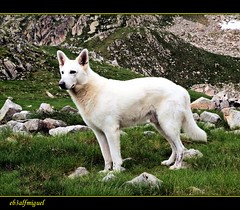 Pastor Aleman  Blanco (eb3alfmiguel) Tags: amigos perros caza mamiferos