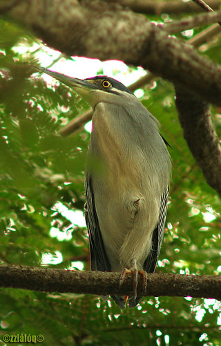 Little Heron on one feet
