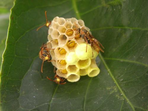 你拍攝的 27才開始築構的蜂巢。
