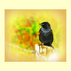 in living colour ('pixler') Tags: pictures park camera family toronto ontario canada art film nature birds animals yellow digital photoshop computer outdoors photography graphics picnic flickr downtown highpark image may trails manipulation squareformat flickrverse recreation create weddings pens visitors spectators fx favourite flickrdom flickrfun blackbird edit gettogether largest groups flicker citypark ondisplay flickrites victoriaday thebigsmoke 2011 1806 redtip grenadierpond flickrland highparkzoo 400acres humberbay artography photographicarts flickrween 2k11 inlivingcolour colorphotoaward flickrmates flickrfriendship flickrship flickrhood flickrmas flickrtine artographx pixler bighugz 20eleven