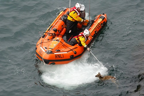 Sika Deer Rescue #2 by julian sawyer