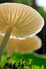 2_DSC9886-Mushroom, Taiwan 香菇-陰天步道偶遇的小驚喜 (Harry‧黃基峰‧台灣影像圖庫) Tags: mushroom taiwan 台灣 臺灣 香菇 菌類 台灣影像 黃基峰 harryhuang 電子郵件hgf78354ms35hinetnet 圖庫網 臺灣影像
