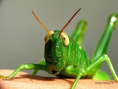 Meet Face-to-Face Tipa Klong, the Green But Still Wingless Grasshopper (mang M) Tags: macro insect grasshopper lamesaecopark insekto greeninsect pkchallenge 100commentgroup mangmaning2000