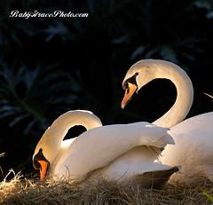Share (Austie1) Tags: nature florida sony swans avian a300 boksanctuary sigma70300mmapomacro babygracephoto