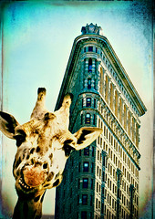 Giraffe mugging for the camera in front of the Flatiron Building (alan shapiro photography) Tags: nyc posing tourist layers giraffe flatironbuilding photocomposition colorphotoaward colourartaward ashapiro515 2010alanshapiro alanshapirophotography wwwalanwshapiroblogspotcom 2010alanshapirophotography