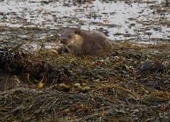 Otter (scottyboylamont) Tags: lutralutra europeanotter isleofmullmacrch2009scotland