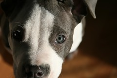 These Eyes (BlackWyld) Tags: blue rescue dog puppy canine pitbull orion shelter spca bully bluenose pitty