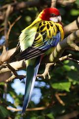 Eastern Rosella (Mark Milham.) Tags: park bird parrot parakeet eastern rosella ramsgate broadstairs