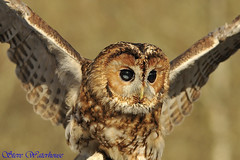 TAWNY OWL  '' (spw6156 - Over 4,880,054 Views) Tags: copyright steve  iso 400 owl raptors waterhouse tawny spw6156 stevewaterhouse copyrightstevewaterhouse