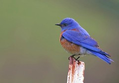 Western Bluebird (spiderhunters) Tags: bird northamericanbirds westernbluebird sialiamexicana sanfranciscobaybirds californiabirds thewonderfulworldofbirds