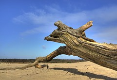 Tree stump in the sand (henx fotojam) Tags: wood blue tree sand dunes sable stump hdr hout zand stronk 3xp delange drunense dutchdesert pentaxk10d duinenen