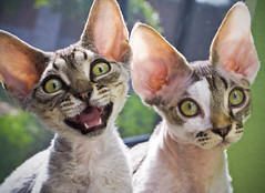 :-*  (kotobuki711) Tags: pink blue red cute male green window yellow tongue female fur eyes sitting florida sweet teeth tabby ears whiskers curly perch meow aspen windowsill fuzz devonshire devonrex kiku talkative cc400 bestofcats