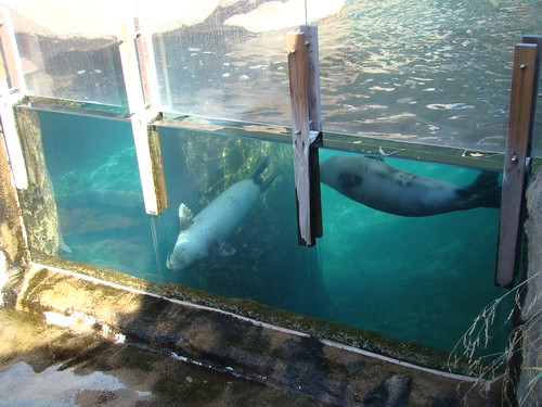 Harbor Seals at the Los Angeles Zoo