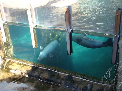 Harbor Seals at the Los Angeles Zoo