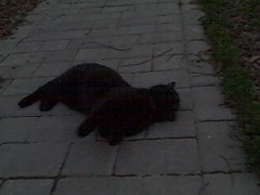 20090329 Purrcy 003 (cygnus921) Tags: pet animal night cat dark fur video furry friend feline funny roll 2009 rollover purrcy