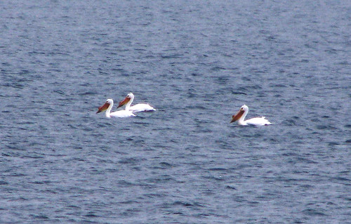American White Pelicans on Fox Lake
