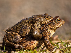 Mating Toads (scrumsrus) Tags: shadow brown nature rural scotland countryside aberdeenshire native peaceful amphibian best environment isolation tranquil potofgold bufobufo naturesfinest bestphoto commontoad contestwinner top20frogs amplexus wartyskin digitalcameraclub challengeyouwinner 3waychallengewinner platinumphoto contestwinners 3wcicon theperfectphotographer beautifulworldchallenges scrumsrus andystuart