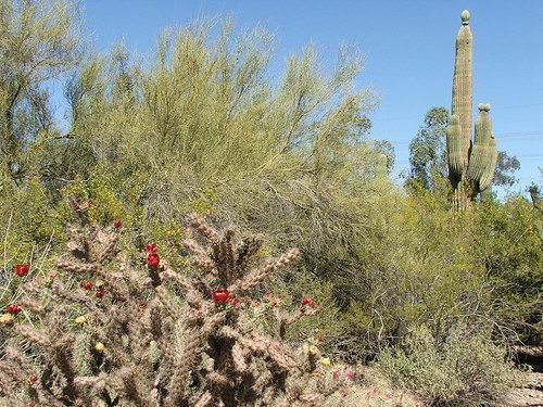 Cacti at the Desert Botanical Garden