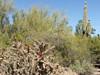Cacti at the Desert Botanical Garden