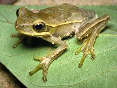 (Techuser) Tags: macro nature animal close amphibian treefrog piedade anura hypsiboas canons5is