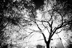 Tree in the Night (Thomas Hawk) Tags: california blackandwhite bw usa tree blackwhite unitedstates unitedstatesofamerica stanford paloalto southbay stanforduniversity photowalking photowalkingstanford photowalking100107 photowalking10012007 natureshand