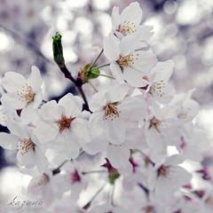 sakura 2009 #5 (*kazuna*) Tags: pink flower macro nature photoshop spring nikon bokeh 66  cherryblossom sakura pse  d300   tamron1750mmf28