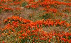 Poppy Fields of Antelope Valley. (RedheadedWoman) Tags: theapprentice abigfave