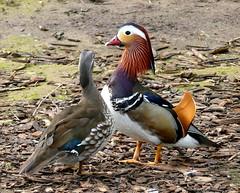Patos Mandarin (vte.) Tags: parque espaa bird animal duck europa asturias ave pato mandarin pajaro gijon aix galericulata marialuisa anade