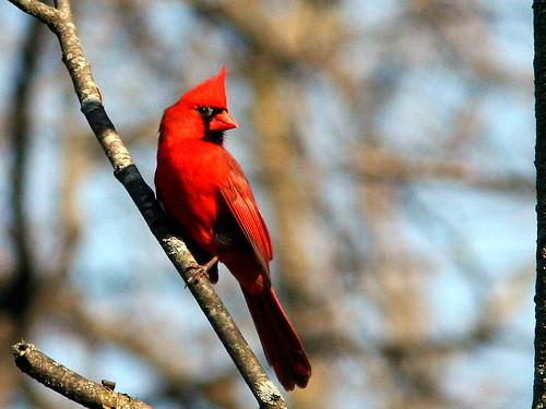 Northern Cardinal 20090502