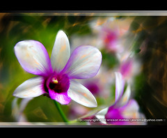::orchid:: (Ericson Matias is back...) Tags: orchid flower painting singapore orchids philippines digitalpainting ericson matias flowerpainting pinoycsers jeorems ericsonmatias