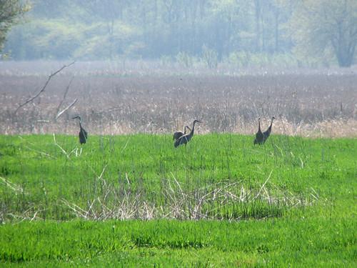 Cranes at Chain O' Lakes