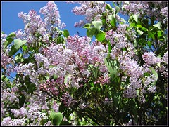 Lilac (ewewlo) Tags: europe poland unature canondigitalixus870is