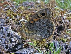 Wall Butterfly, Kingmoor Sidings Nature Reserve, 11 May 09 (gillean55) Tags: brown macro nature wall butterfly reserve cumbria carlisle sidings megera kingmoor lasiommata