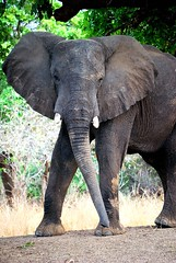 Mock Charge (potters pics) Tags: elephant south zambia luangwa nkwali