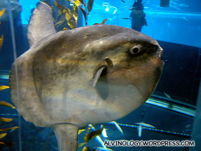 A very peculiar looking giant fish called Sun Fish
