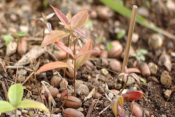 どんぐりの芽