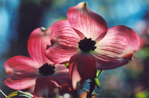 Backlit Dogwood