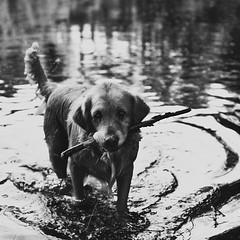 anka (besimo) Tags: blackandwhite dog water look fauna square walk memories nostalgia ami stick companion anka thelittledoglaughed d700 besimmazhiqi 50mmf14f35