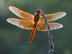 Flame Skimmer (treegrow) Tags: arizona macro nature bug insect tucson dragonfly canonpowershots2is arthropoda odonata libellulidae potofgold arroyochico lifeonearth flameskimmer libellulasaturata taxonomy:binomial=libellulasaturata