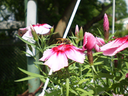 Dianthus with Yellowjacket