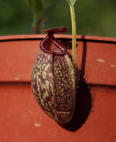 Nepenthes Spectabilis x Aristolochioides: Pitcher