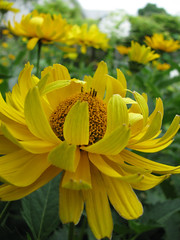 Hello Yellow Summertime! (indee) Tags: yellow garden heliopsis indee summer2009 notsomellowyellow likewildsunflowers invasivebutwhocares