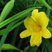 Yellow Lily-Davis Johnson Park in Bergen County NJ (48a)