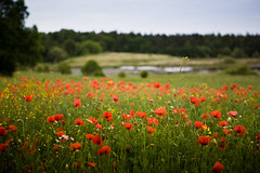 Typical for Rgen - poppies (mad_airbrush) Tags: holiday eos honeymoon 5d rgen ostsee flitterwochen