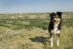 8am (sarah ...) Tags: dog alberta bordercollie weeks 52 d300 gyp 2652 8weekslater morninglight8am ilovehercheekyexpression